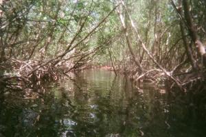 Mangrove Tunnel, Weedon Island